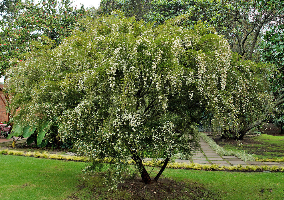 A small Baeckea frutescens tree with white flowers