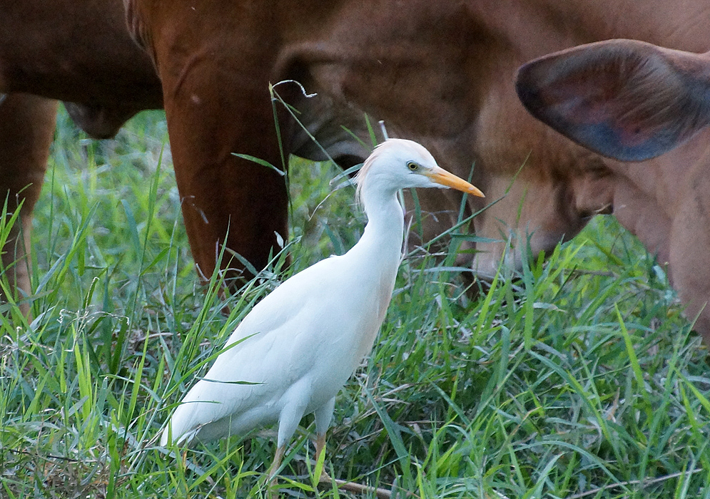 A Bubulcus ibis standing next to a cow