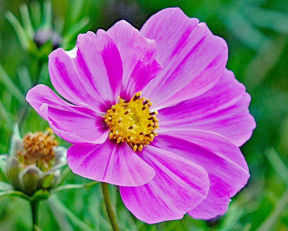 Pink Cosmos bipinnatus flower with a yellow disks