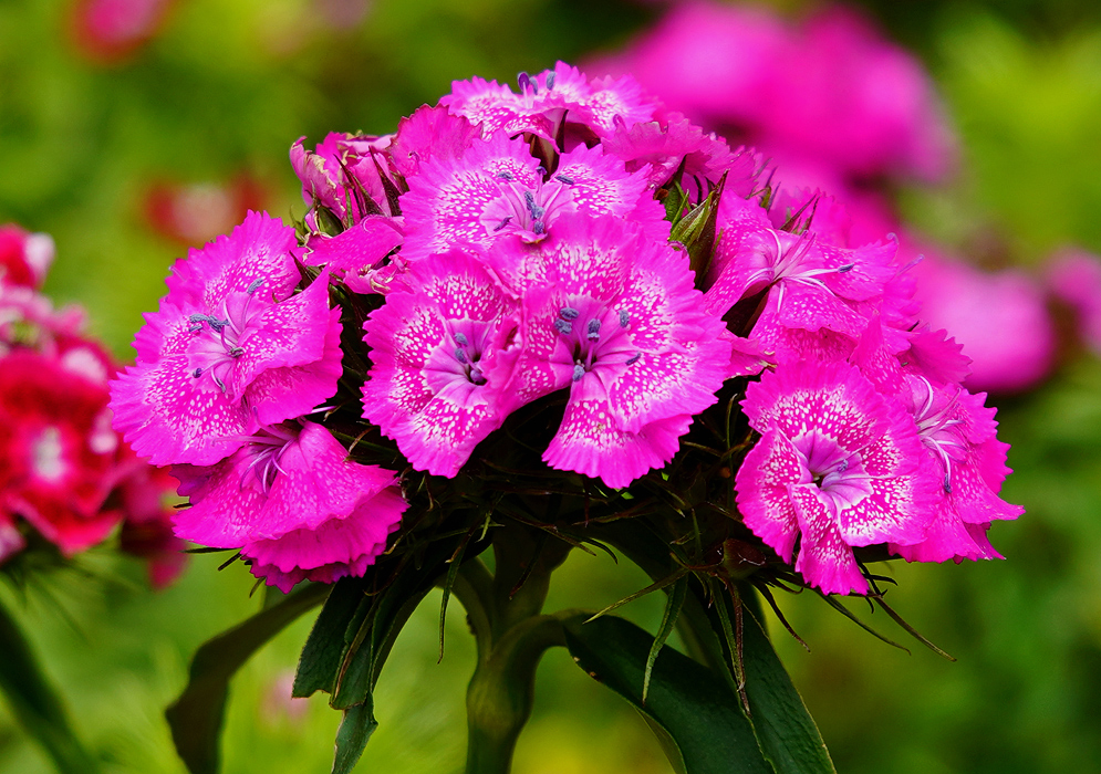 A cluster of pink Dianthus barbatus flowers with white markings and purple anthers