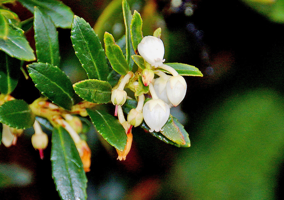 Drooping White Gaultheria myrsinoides flowers and sepals