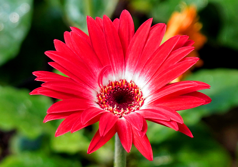 Gerbera jamesonii red flower  with white around the disk in sunlight