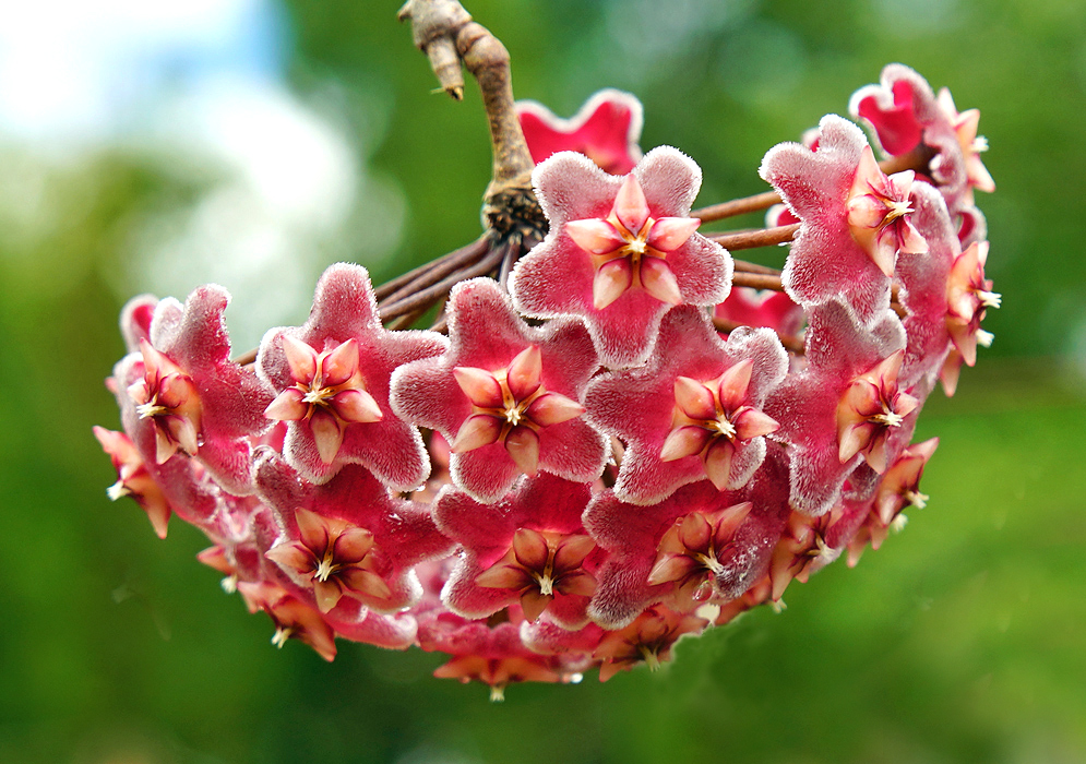 Hoya carnosa red flowers with white stamens