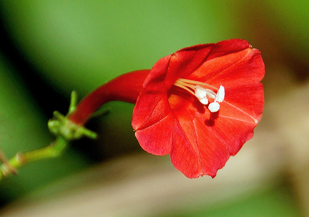 Red Ipomoea hederifolia flower curving towards the sunshine