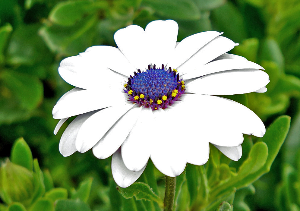 A white Osteospermum fruticosum flower with a blue center and small yellow disk flowers
