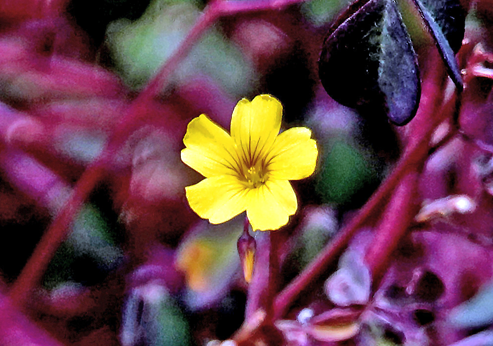 A yellow Oxalis spiralis flower with brown stripes and burgundy stems