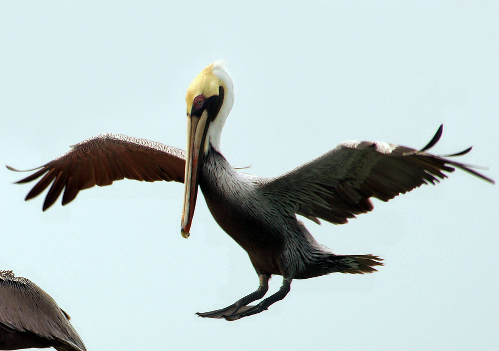 Brown Pelican mid-air landing on a boat