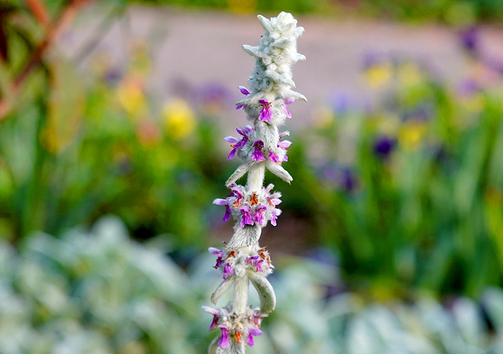 An erect silver-white Stachys byzantina spike with purple flowers