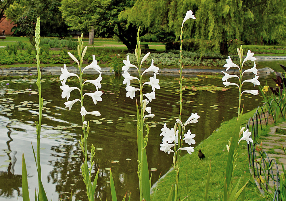 Watsonia borbonica inflorescences with white flowers and green flower buds in front of a dark pond