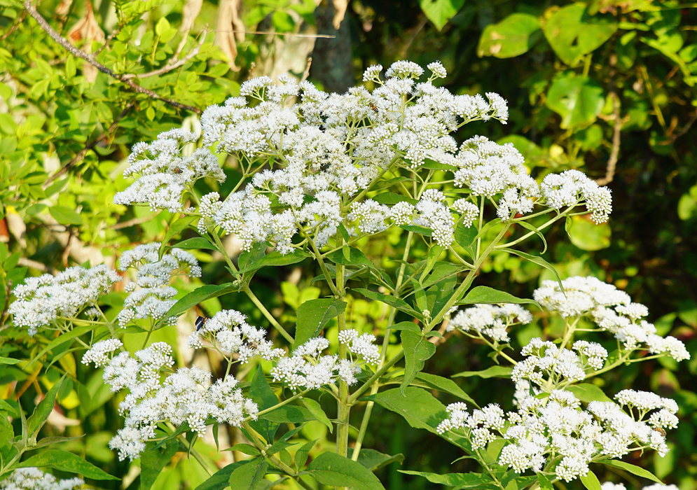 Inflorescences of white Ageratina flowers