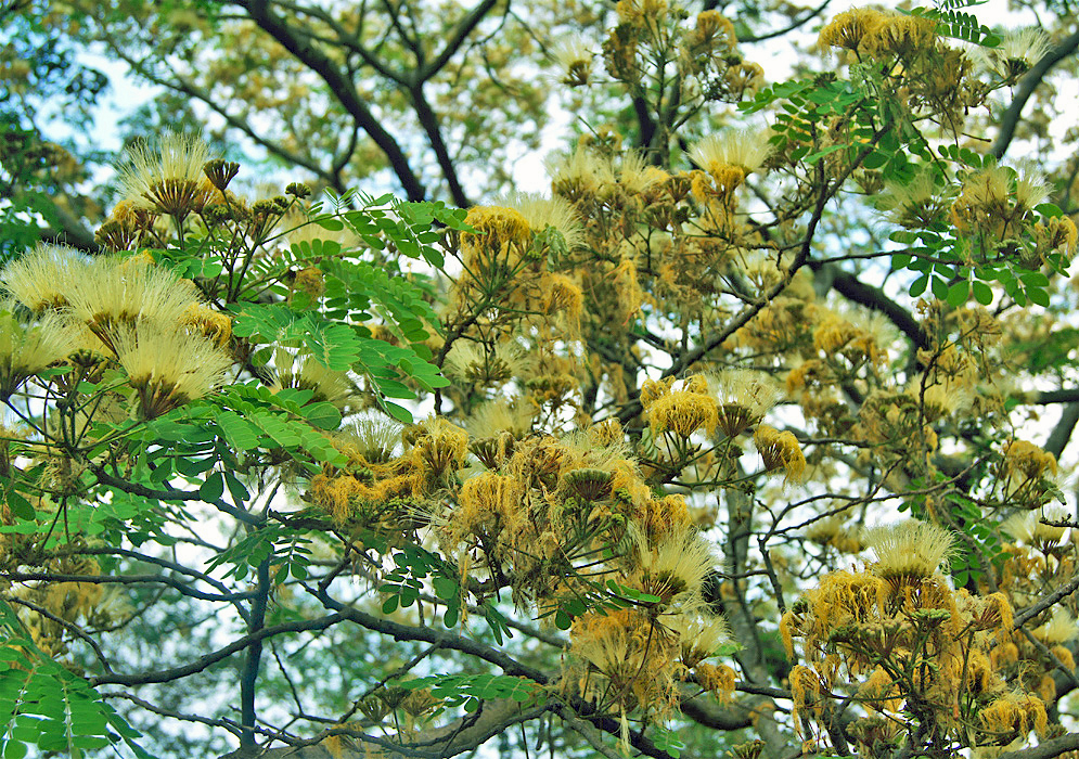Looking up at the flowers and branches of an Albizia lebbeck tree