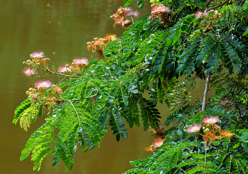 Albizia julibrissin branch with flowers overhanging a pond