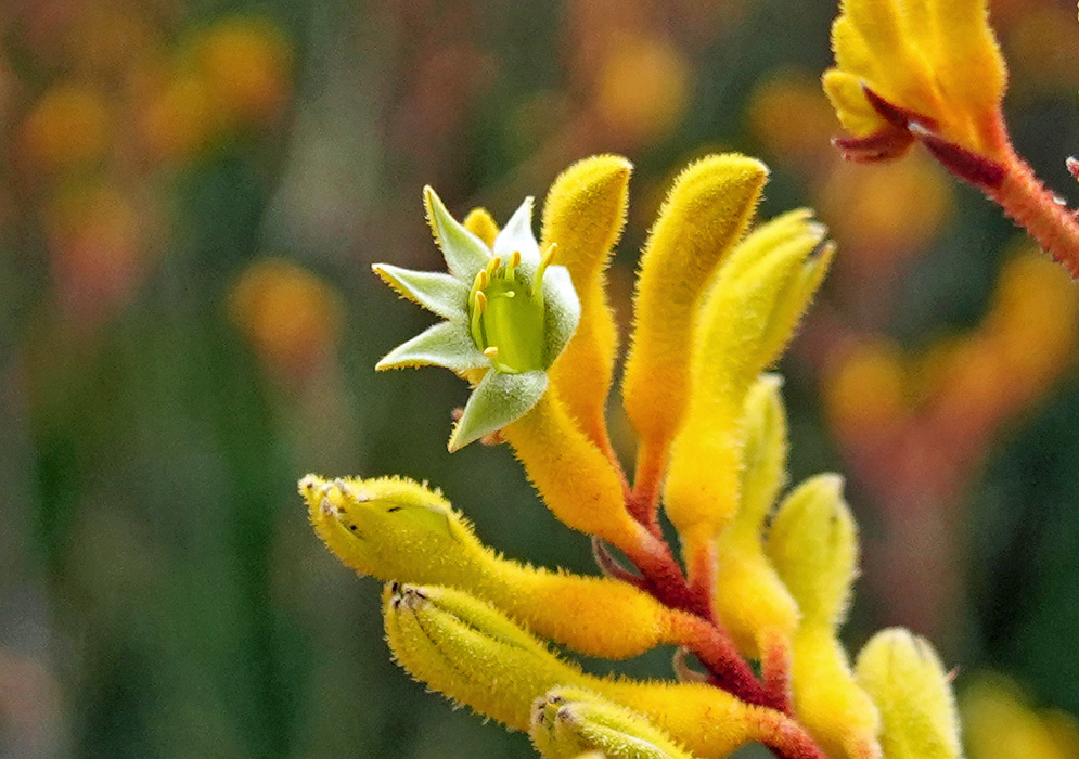A red stem with hairy yellow buds and a green flower