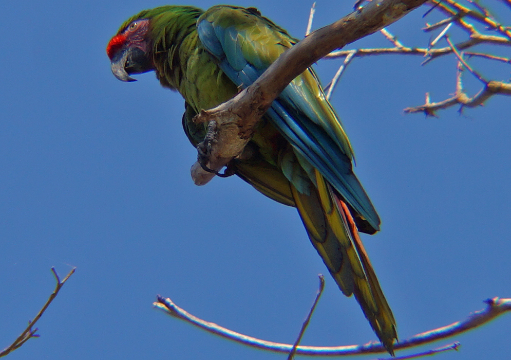 Ara militaris perched on a branch under blue skies