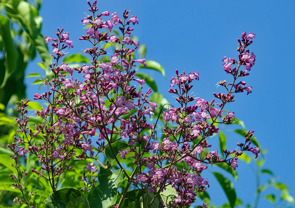 Panicles of Fridericia purple flowers in the foreground of a blue sky