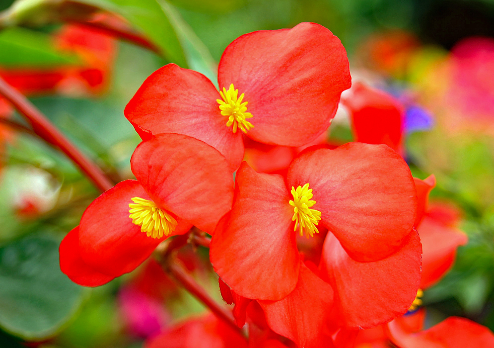 Red Begonia flowers with yellow stamens