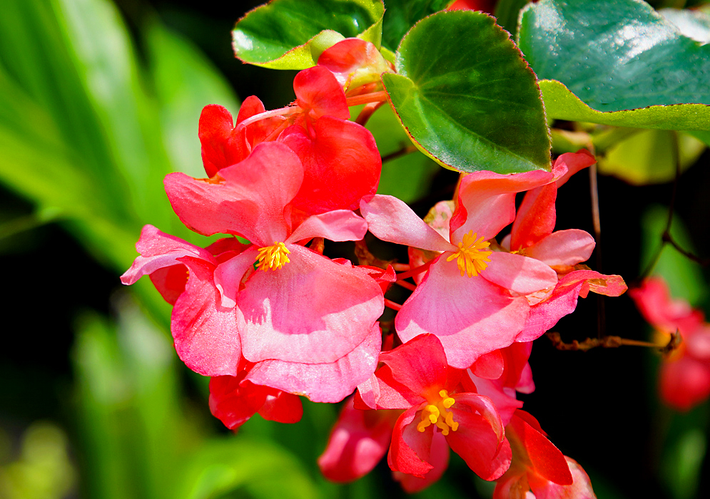 Two pink Begonia hybrid flowers with yellow stamens