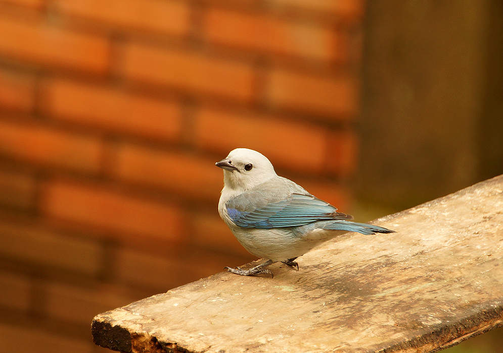 Blue-grey Tanager in a wood plank upclose
