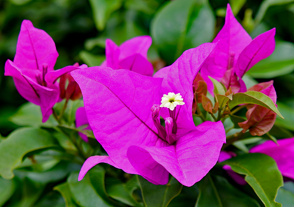A white Bougainvillea flower with bright pink bracts
