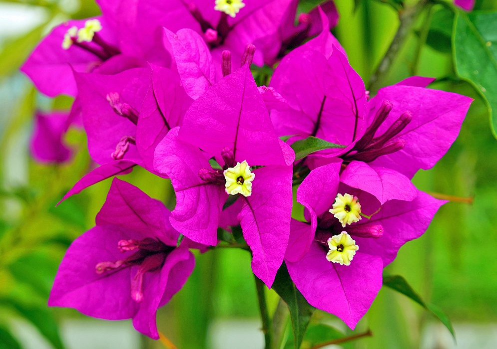A yellow Bougainvillea flowers surrounded by purple-magenta bracts
