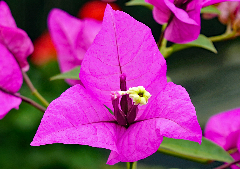 A white and yellow Bougainvillea flower surrounded by purple bracts