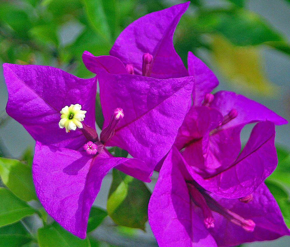 Beautiful purple bracts and surrounding a white bougainvillea flower