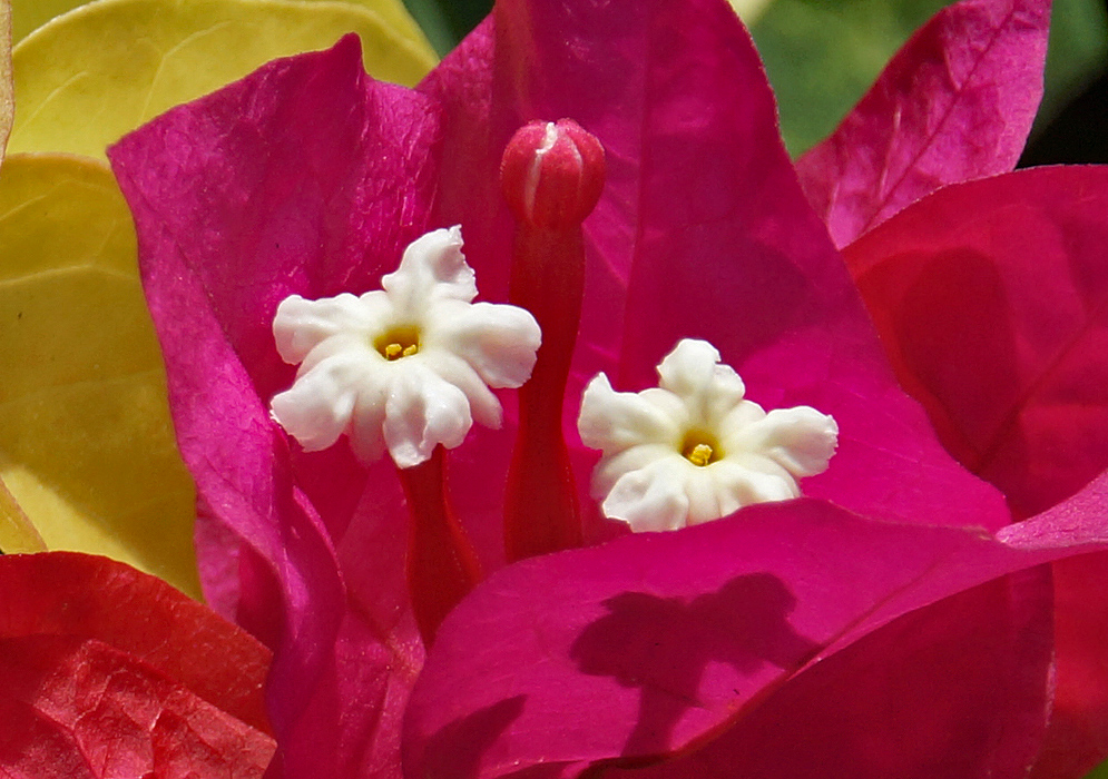 Bougainvillea with two white flowers surrounded by red purplish bracts