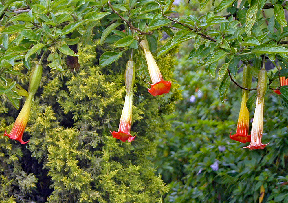 Five red and yellow Brugmansia sanguinea flowers wet from rain