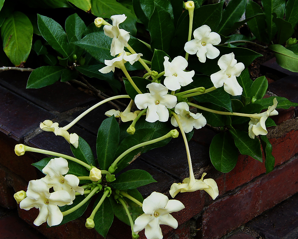 White and cream colored Brunfelsia nitida flowers