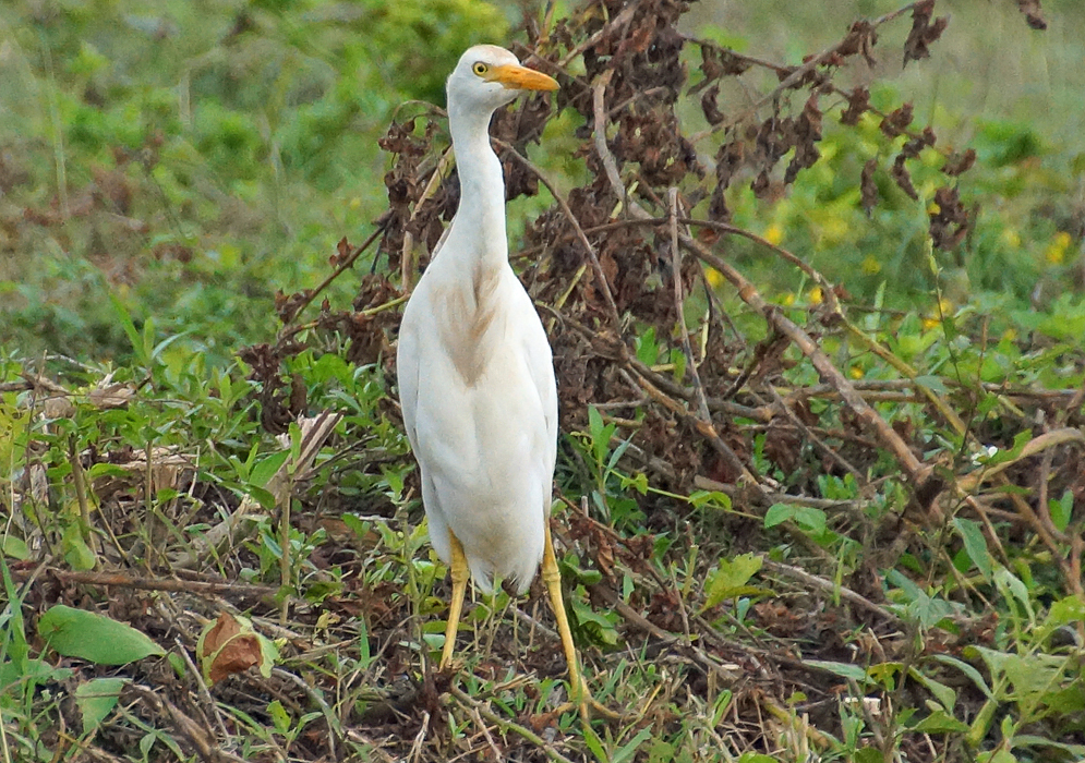 The white breast and yellow legs and beak of a bubulcus ibis
