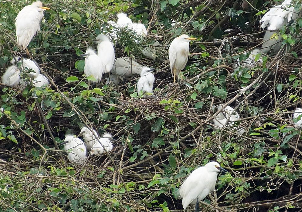 Nesting Cattle egrets in a tree with adults and juveniles