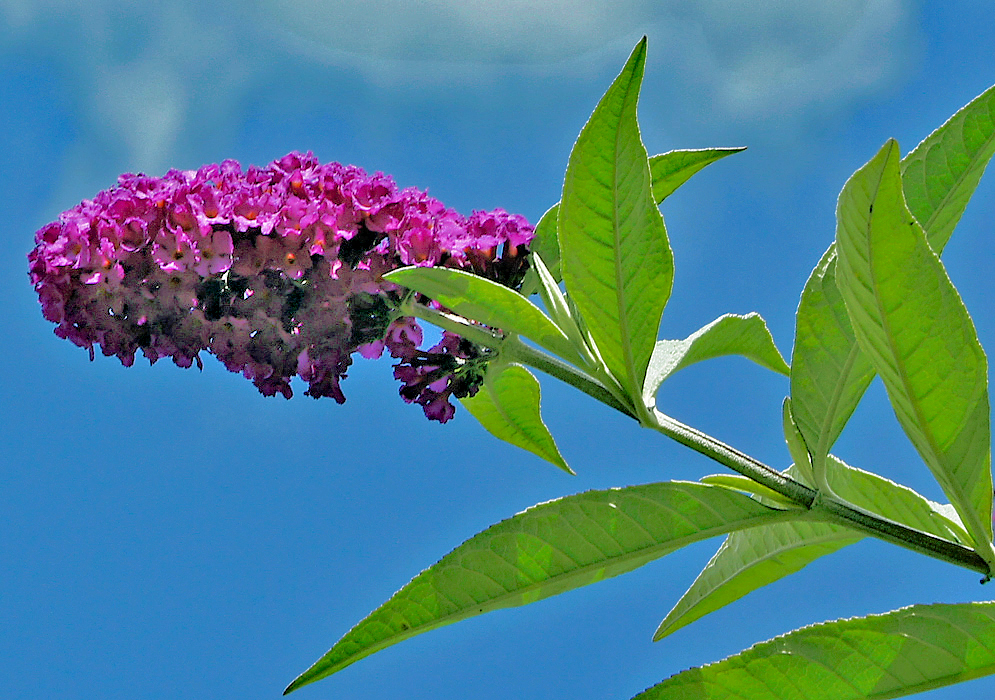 Inflorescence with purple flowers hit by sunlight under a dark blue sky