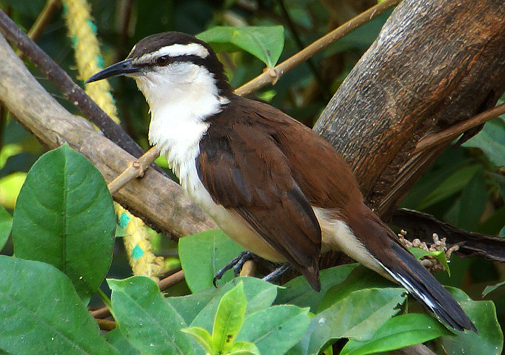 A bicolored wren with a white breast and brown-colored feathers perched on a branch