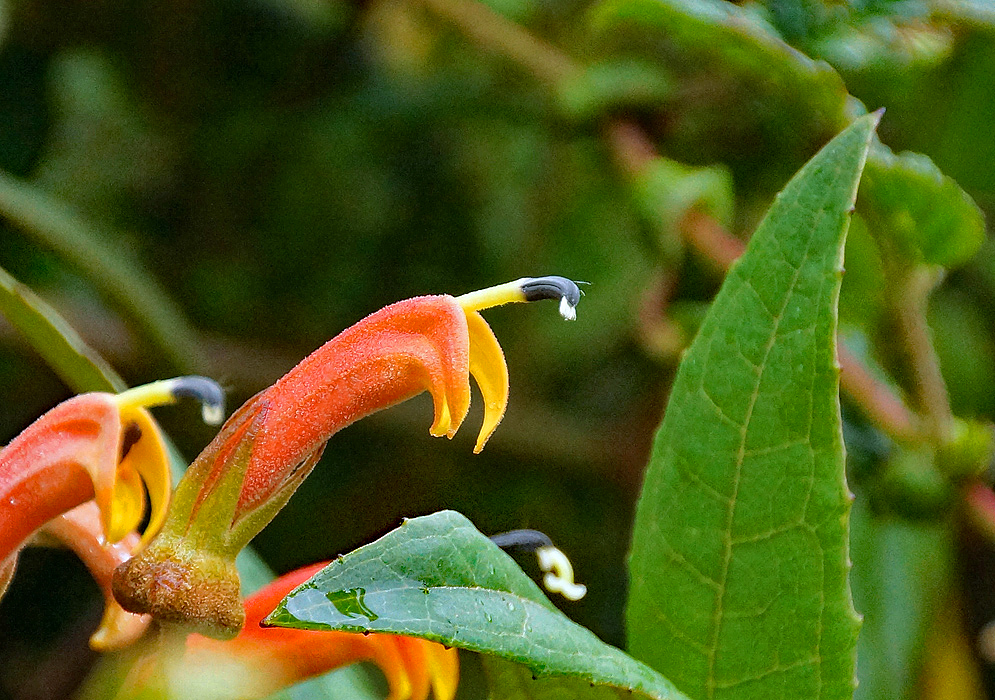 A rust orange Centropogon flower with a yellow throat and black and white stamen
