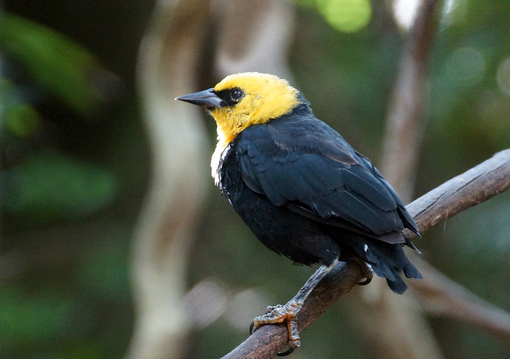 A Chrysomus icterocephalus with a bright yellow head and throat and black lores and body