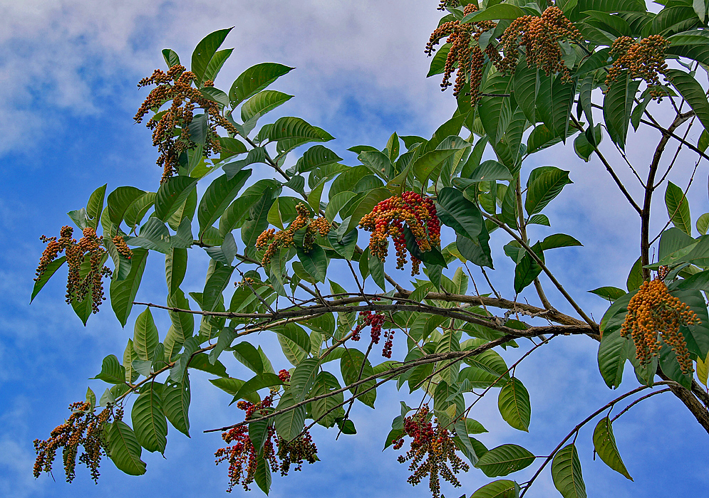 Citharexylum spinosum branches with yellow, orange and red fruit under a blue sky background