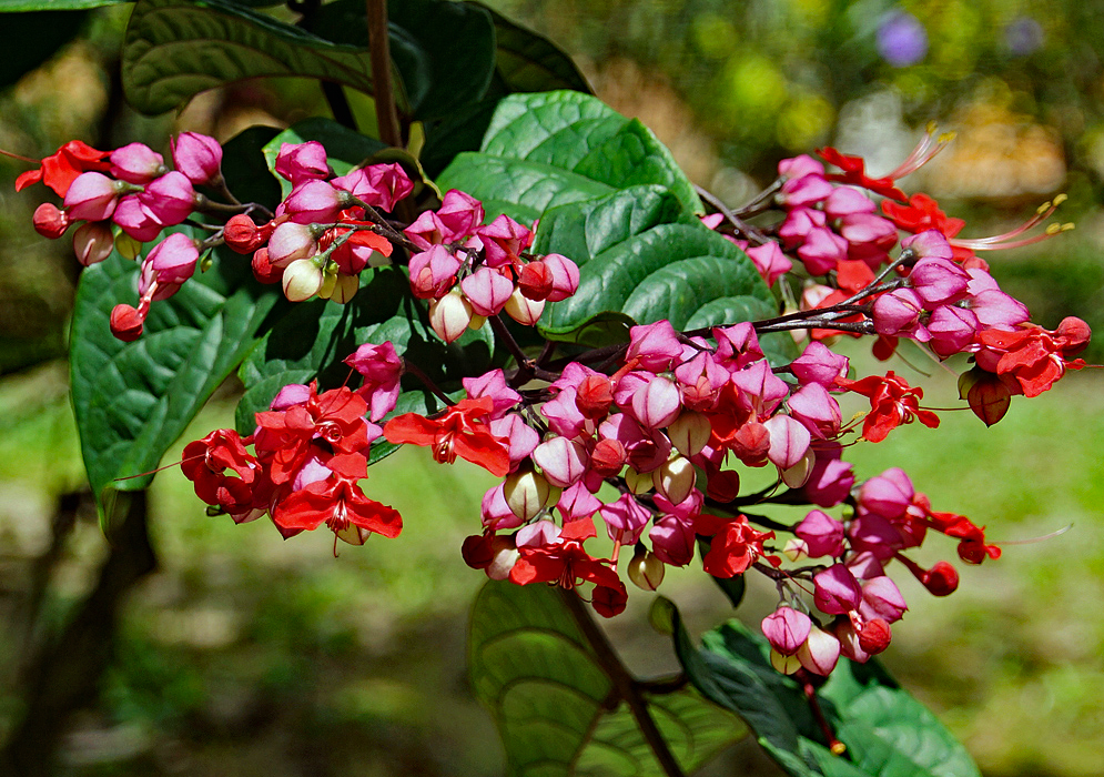 Red Clerodendrum speciosum flowers with pink-lavender bracts