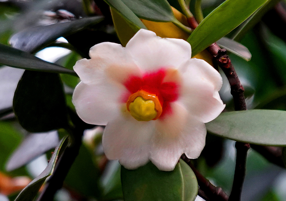 A pinkish white Clusia orthoneura flower with a red, orange and yellow center