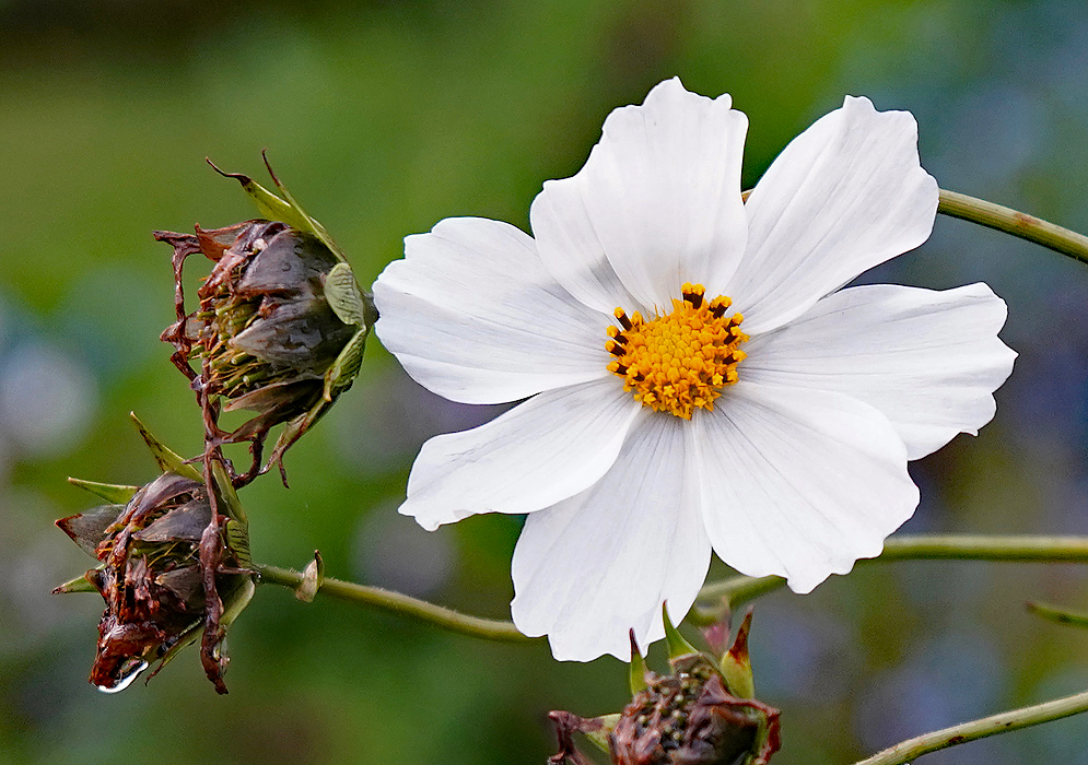 A white Cosmos bipinnatus flower with a yellow disk next to brown spent flowers