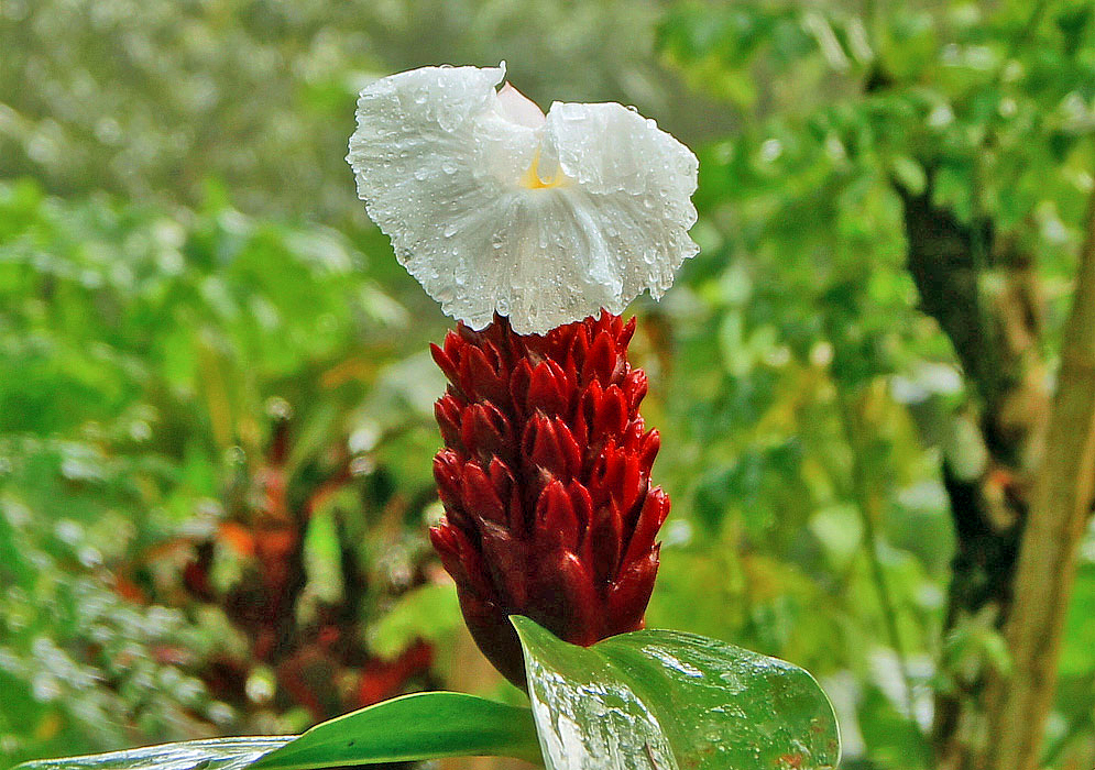 Red Cheilocostus speciosus inflorescence with a white flower covered in raindrops