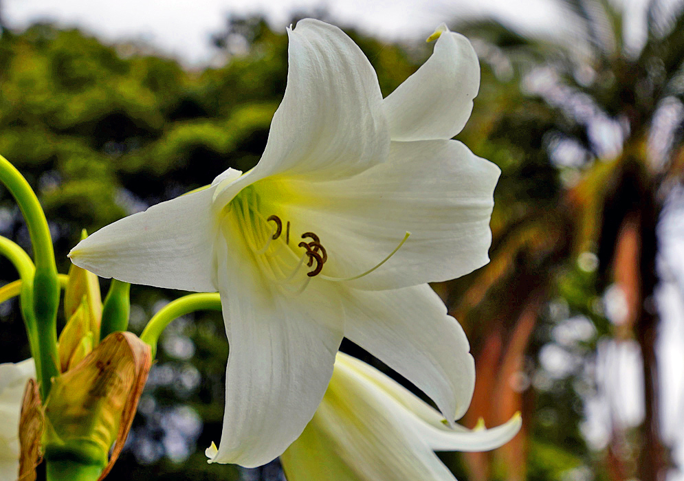 A white Crinum powellii flower with a green-yellow throat and brown anthers