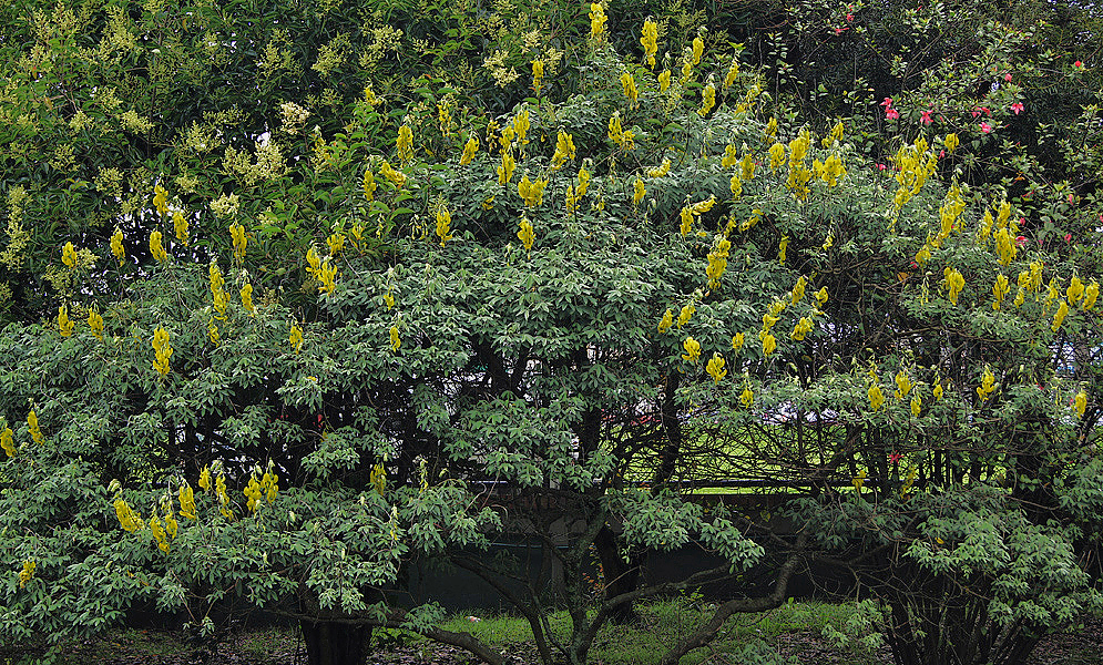A large crotalaria agatiflora shrub with spikes of yellow flowers