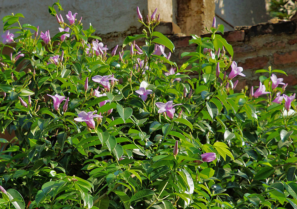 Cryptostegia grandiflora vine growing in front of a wall