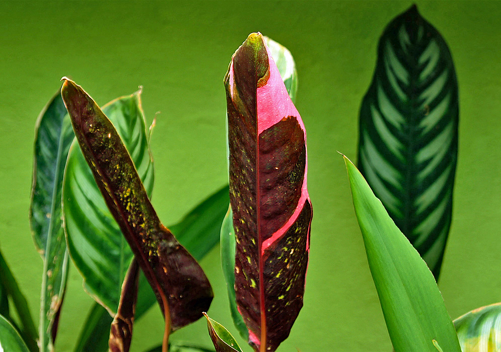 The underside of a Ctenanthe oppenheimiana leaf with beautiful pink markings