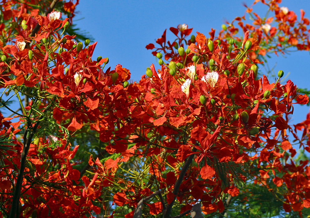 Delonix regia branches full of red flowers under a blue sky