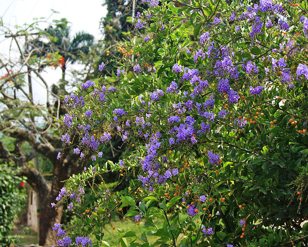 Duranta repens shrub with purple flowers and small orange fruits