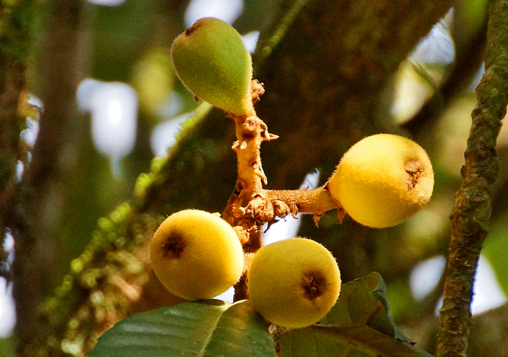 Four yellow and green Eriobotrya japonica fruits on the tree