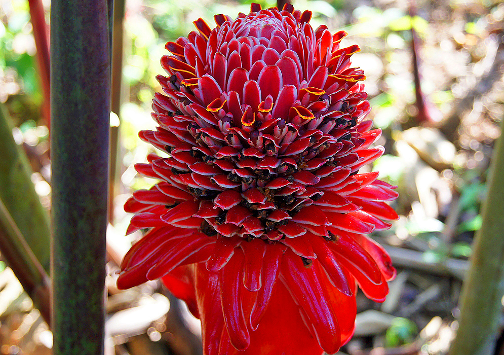 Cone-shaped Etlingera elatior inflorescence with tiny yellow flowers and petal-like red bracts in shade