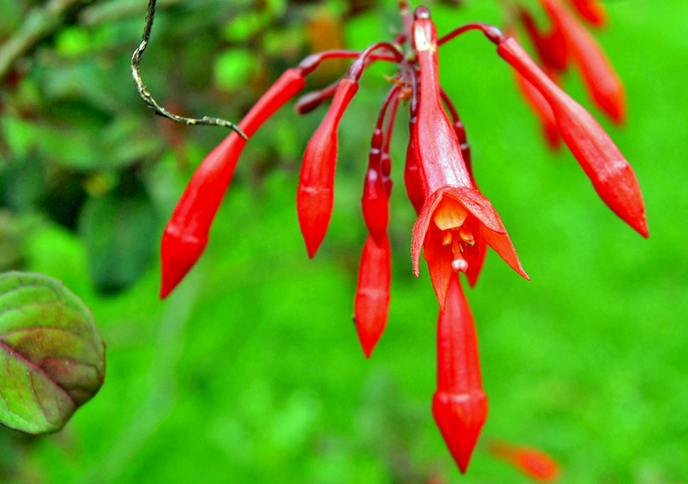 Bright orange-red Fuchsia triphylla flower
