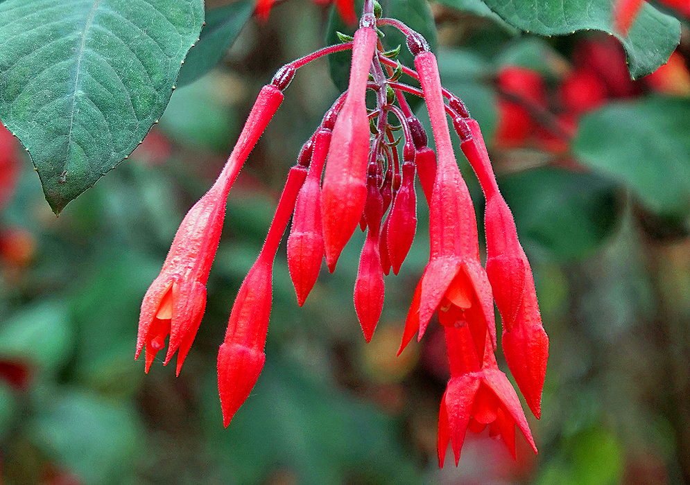 Fuchsia triphylla red flower cluster